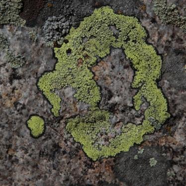 lichen_circle