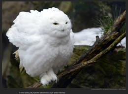 nyt_owl
