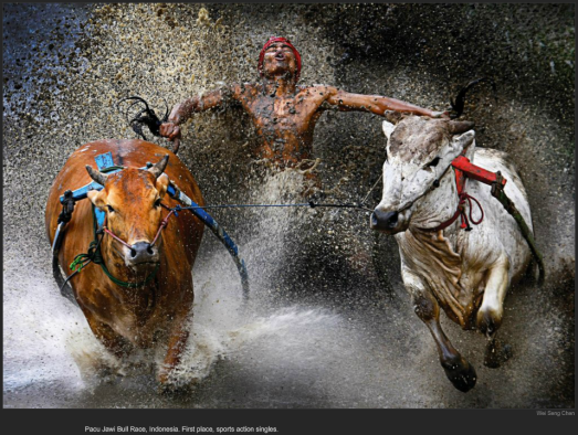 nytl_awards_cow_skiing