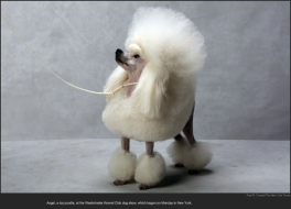 nytl_toy_poodle