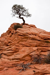 Against menacing odds, this tree has taken root on top of a sandstone mound in the inhospitable climate of Southern Utah. Triumphantly perched above its withered neighbors, this tree is somewhat of a phenomenon