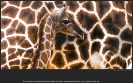 nytl_giraffe