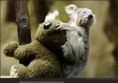 nytl_koala_parenting