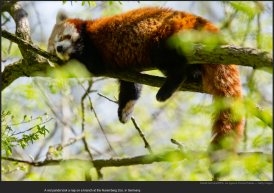 nytl_red_panda