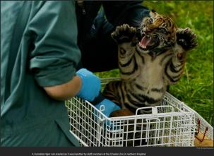 nytl_baby_tiger