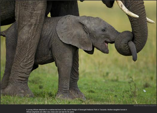 nytl_elephant_love