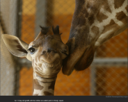 nytl_smug_giraffe
