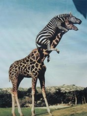 zebra_girafe_ladder