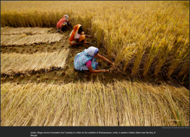 nytl_rice_harvest