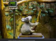 nytl_koala_unatural_habitat