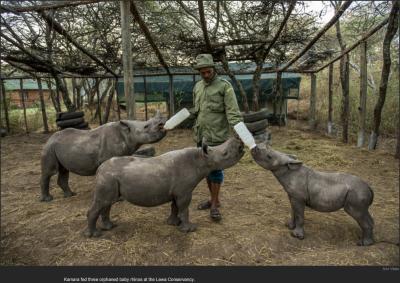 nytl_rhino_feeding