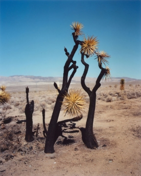 gregory_halpern_joshua_tree