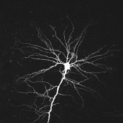 neuron_Branch
