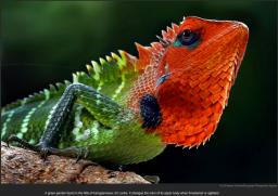 nytl_lizard