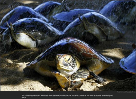 nytl_sea_Turtles