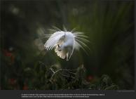 nytl_plumage