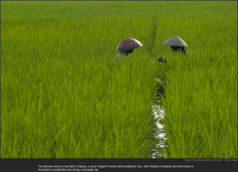 nytl_rice_fields